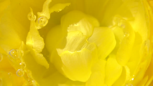 Close up shot of Ranunculus