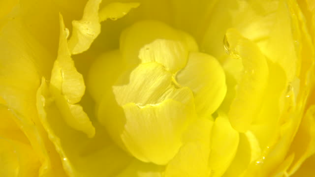 close up shot of ranunculus - ranunculus stock videos & royalty-free footage