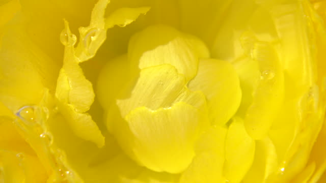 stockvideo's en b-roll-footage met close up shot of ranunculus - ranonkel