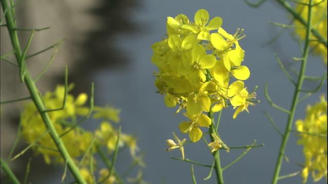 vídeos y material grabado en eventos de stock de close up shot of rapeseed flowers. - prefectura de fukuoka