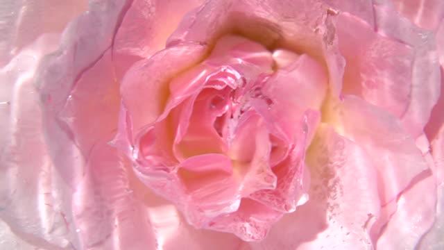 vidéos et rushes de close up shot of rose - pétale