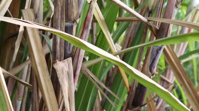 santo domingo dominican republic november 30 2012 a close up shot of some arid sugar cane leaves on a sugar cane plantation near santo domingo... - sugar cane stock videos & royalty-free footage