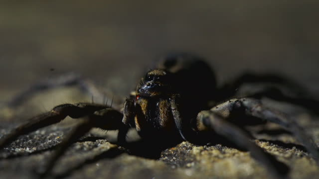 close up shot of spider's fangs and eyes - animal abdomen stock videos and b-roll footage
