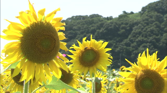 Close up shot of sunflowers