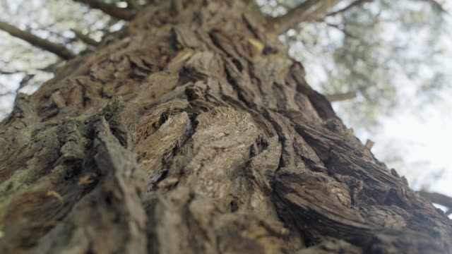 close up shot of the bark of a redwood tree - coast redwood stock videos & royalty-free footage
