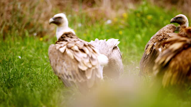 close up shot of vultures in a group - small group of animals stock videos & royalty-free footage