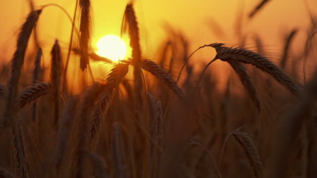 ds close up shot of wheat ears at sunset - ear of wheat stock videos and b-roll footage
