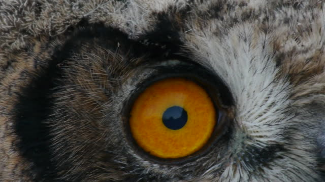 vídeos de stock, filmes e b-roll de close up shot of yellow eyes of eagle owl - olho de animal