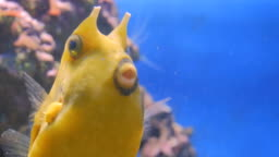 Close up shot of yellow funny fish near corals