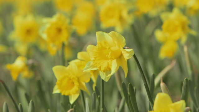 Close up shot of yellow narcissus flowers gently swaying in the wind