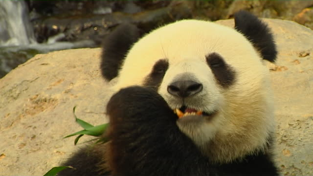 stockvideo's en b-roll-footage met close up shot panda hong kong kwangtung china - panda
