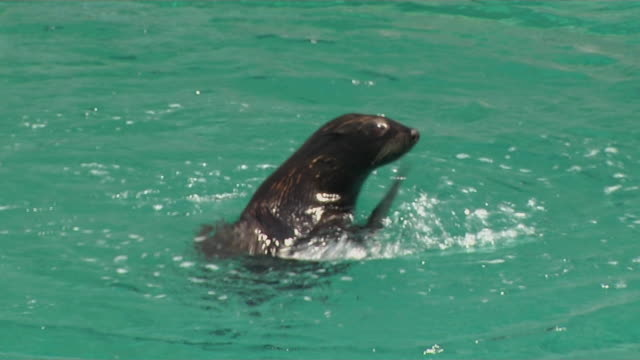 stockvideo's en b-roll-footage met close up shot seal circling singapore  - animal