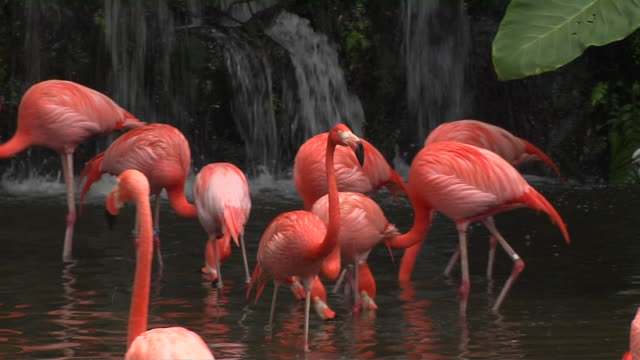close up shot stand of flamingos in pond  - flamingo bird stock videos & royalty-free footage