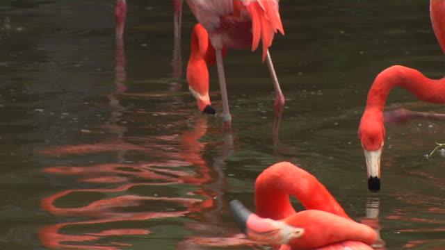 vídeos de stock e filmes b-roll de close up shot stand of flamingos in pond - grupo pequeno de animais