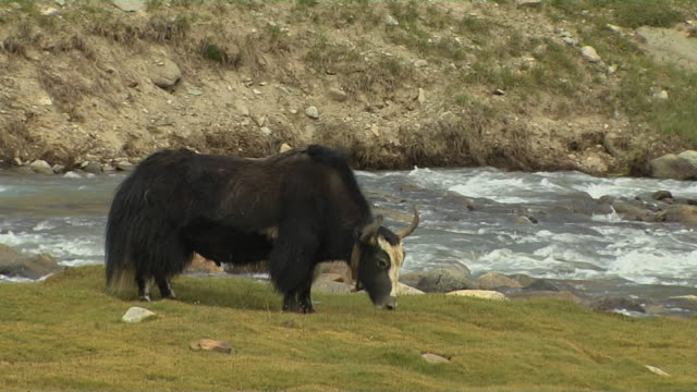 Close Up Shot Yak Grazing Near River Lhasa Tibet China