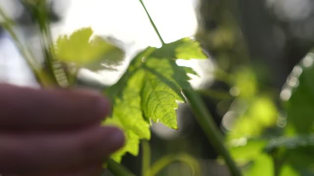 vídeos de stock e filmes b-roll de close up shots of a blonde woman touching grape vine leaves - vinha