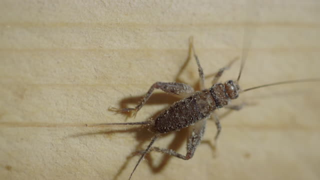 close up shots of crickets in a cricket farm - cricket insect stock videos and b-roll footage