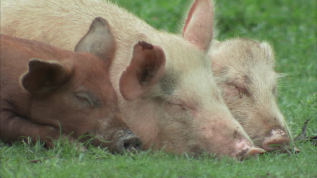 vídeos de stock, filmes e b-roll de close up shots of pigs sleeping on the ground - três animais