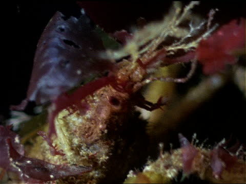 a close up shows the face of a decorator crab. - invertebrate stock videos & royalty-free footage