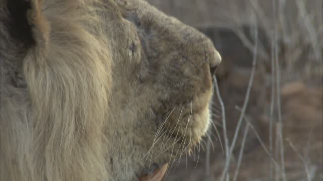 A close up side view of a male Asiatic lions (panthera leo persica)  mouth panting which then turns to face the camera