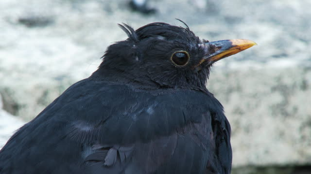 close up side view of a male blackbird also knonw as the eurasian blackbird - johnfscott stock videos & royalty-free footage
