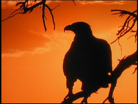 close up silhouette bird of prey (eagle/hawk?) sitting on dead tree branch at sunset - bright colour bildbanksvideor och videomaterial från bakom kulisserna