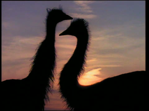 vidéos et rushes de close up silhouetted pair, then group of emus - cou d'animal