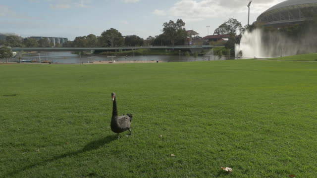 close up single black swan stands on grass - elder park rotunda, torrens river fountain and adelaide oval in background - adelaide river stock videos & royalty-free footage