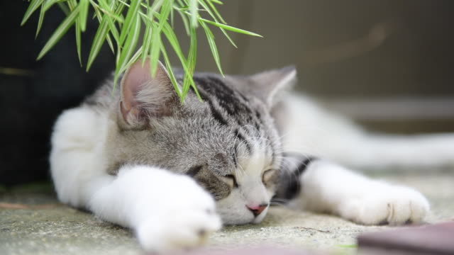 close up sleepy cute cat with silver bamboo tree,thyrsostachys siamensis gamble - cat blinking stock videos & royalty-free footage