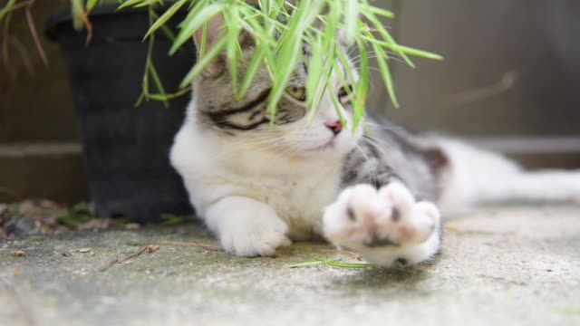 close up sleepy cute cat with silver bamboo tree,thyrsostachys siamensis gamble,slow shot - lying down stock videos & royalty-free footage