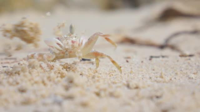 クローズ アップ: 砂を掘りスナガニのスローモーション - 熱帯気候点の映像素材/bロール