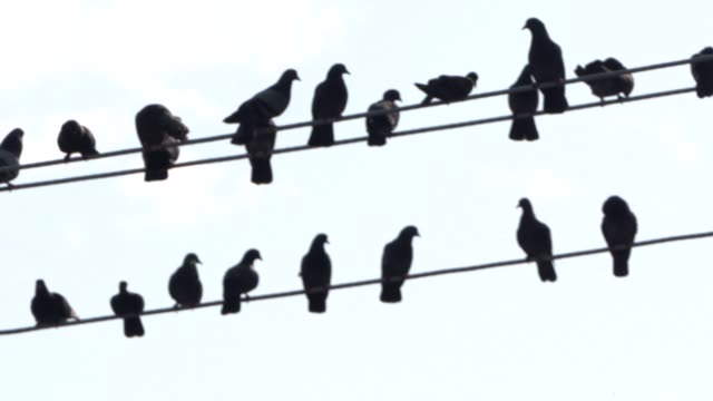 close up slow motion pigeons flying and landing on utility lines near the shwedagon pagoda in yangon myanmar on wednesday march 8 slow motion pigeons... - monk stock videos and b-roll footage
