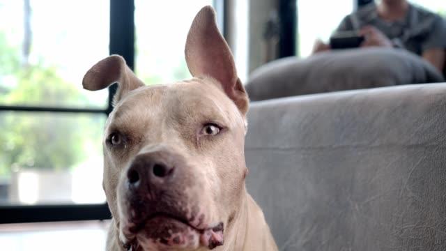 vidéos et rushes de fermez le coup au ralenti d'un chien mâle heureux pitbull regardant quelque chose avec suspicion et vigilance. - être debout