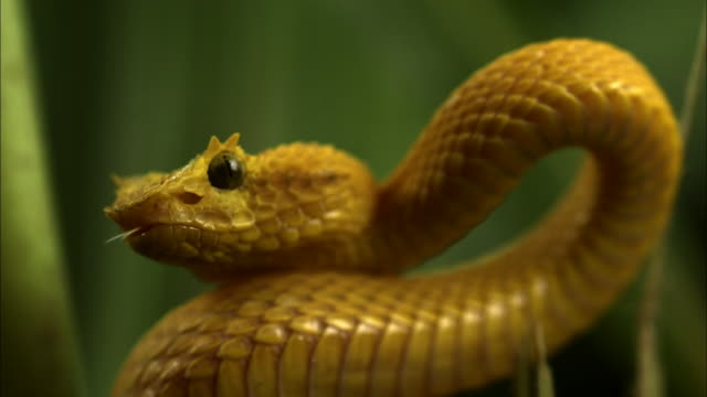 close up slow motion - yellow eyelash viper coiled in green plants opens jaws wide to strike / costa rica - ヘビ点の映像素材/bロール
