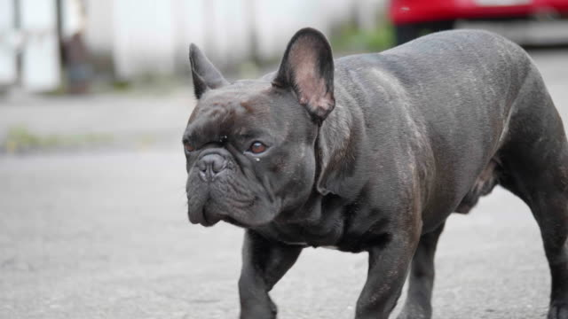 4k close up slow motion young black french bull dog waling on the street. concept: nature, animal, life. - dog tail stock videos and b-roll footage