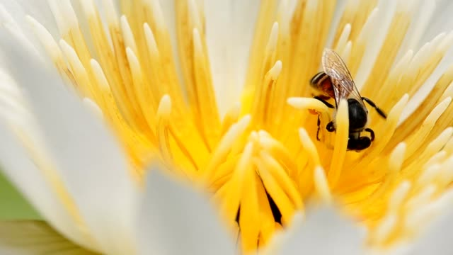 vídeos de stock, filmes e b-roll de detalhe: pequeno abelha em branco de lótus - abelha obreira