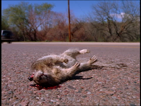 close up small dead mammal with smashed head + blood on side of road / cars passing in background / california - run over stock videos & royalty-free footage