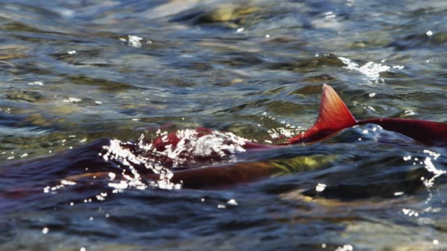 close up, sockeye salmon migrate upstream - animals in the wild stock videos & royalty-free footage