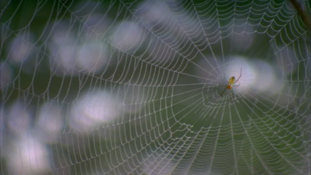 close up spider in center of spider web / pan to another web / satsumasendai, kagoshima prefecture, japan - arachnid stock videos and b-roll footage