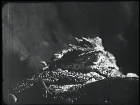 stockvideo's en b-roll-footage met b/w 1954 close up spiky lizard turns head - 1954