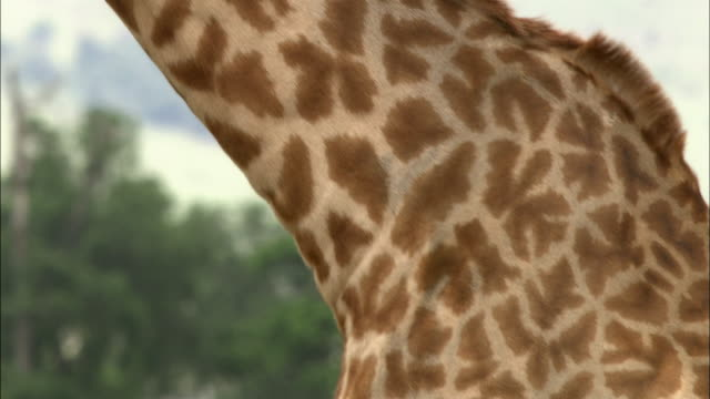 close up spots on giraffe's side / pan up neck to giraffe /giraffe turns to look at cam /masai mara, kenya - neck stock videos & royalty-free footage