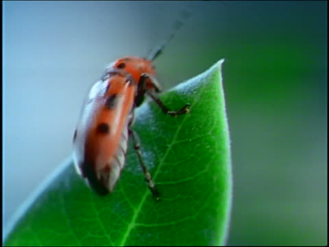 close up spotted beetle (tetraope) crawling around on green leaf - animal antenna stock videos & royalty-free footage