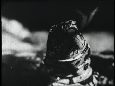b/w 1954 close up spotted lizard flicks tongue + opens mouth - 1954 stock videos & royalty-free footage