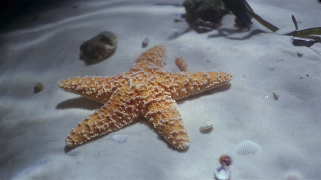 Close up starfish lying on sand in water / hand picking it up