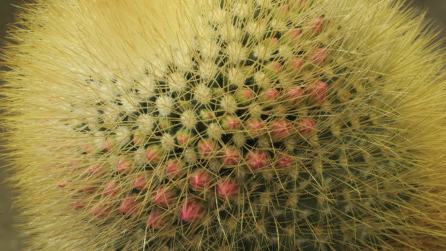 Close Up static _ A thorny cactus blooms pink flowers that open and close