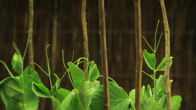Close Up static _ Pea plants grip poles as they grow