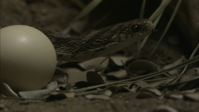 stockvideo's en b-roll-footage met close up static - a common egg-eating snake slithers around an egg / south africa - slang reptiel