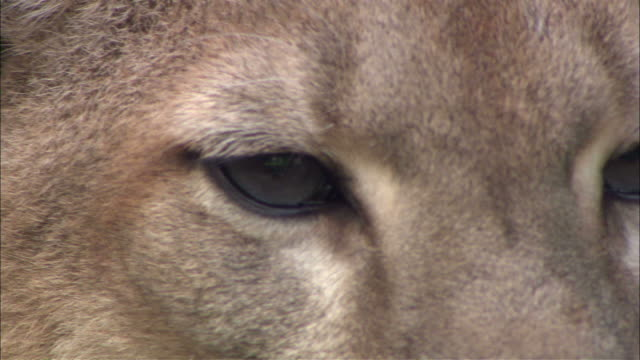 close up static - a mountain lion blinks and breathes / united states - puma stock videos & royalty-free footage