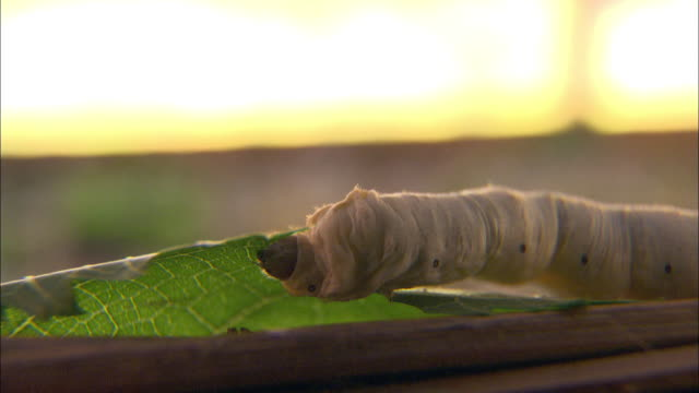 vídeos de stock, filmes e b-roll de close up static - a silkworm quickly eats a leaf. / malaysia - lagarta