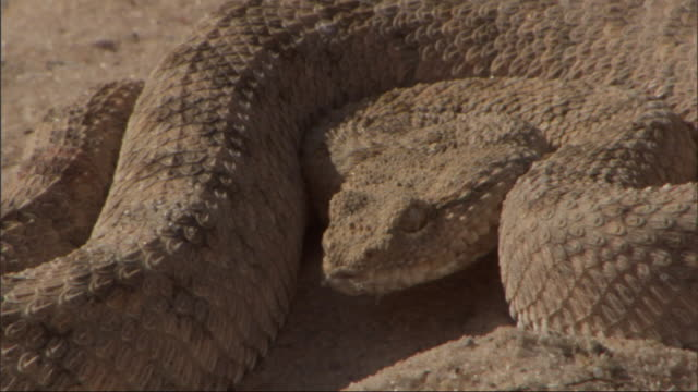 close up, static - a snake coils in the sand - curled up stock videos and b-roll footage